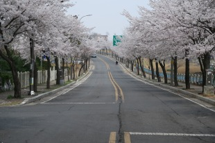 best cherry blossom street in town