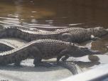 Crocs at Hartley's Crocodile Adventures