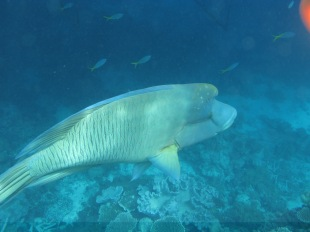 Wally the Maori Wrasse