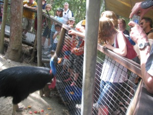Cassowary at Hartley's Crocodile Adventures