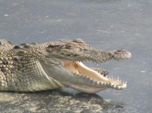Croc at Hartley's Crocodile Adventures