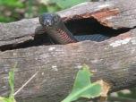 Snake at at Hartley's Crocodile Adventures