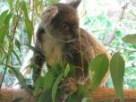 Koala at Hartley's Crocodile Adventures